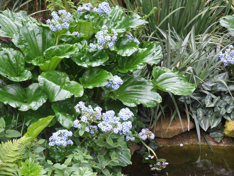 Mysotidium-hortensis