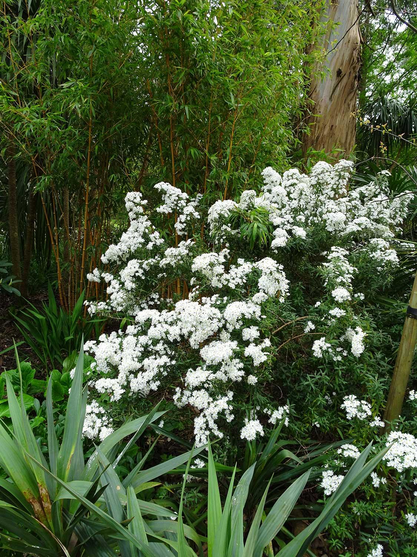 Olearia-x-scillionensis-(2)