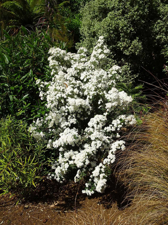 Olearia-x-scillionensis