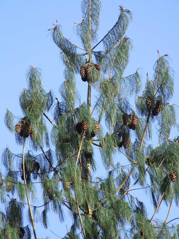 Pinus-butanica