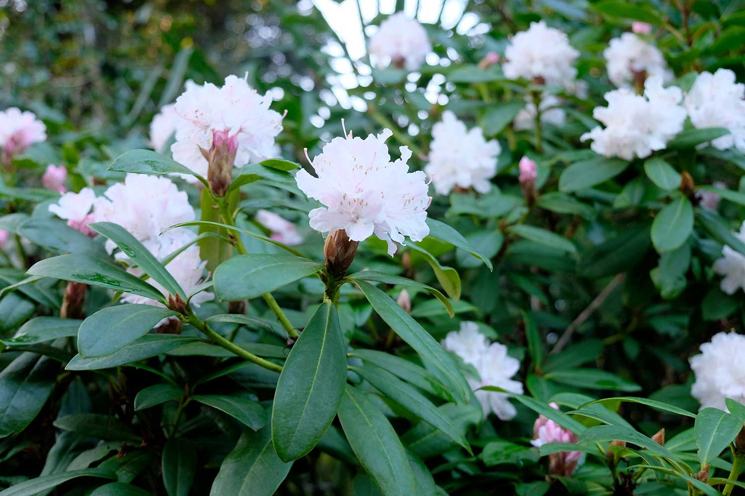 Rhododendron-'Christmas-Cheer'