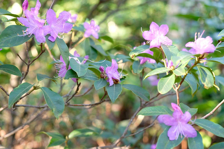 Rhododendron-dauricum-'Midwinter'-2