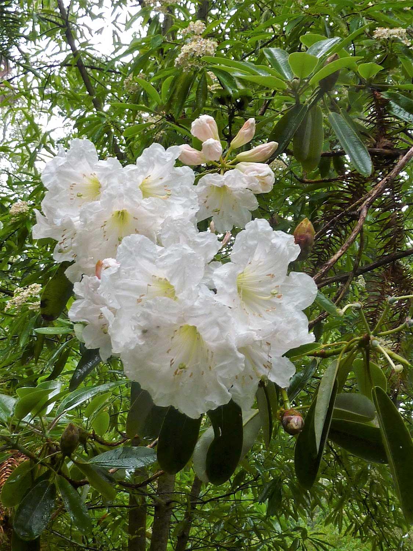 Rhododendron-decorum