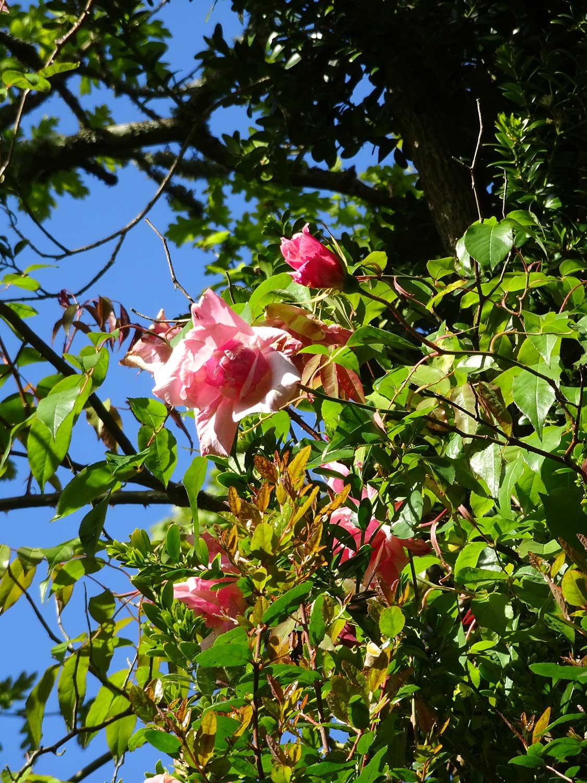 Rosa-gigantea