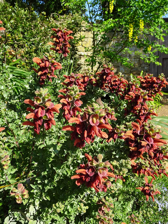 Salvia-african-lutea-(Aurea)