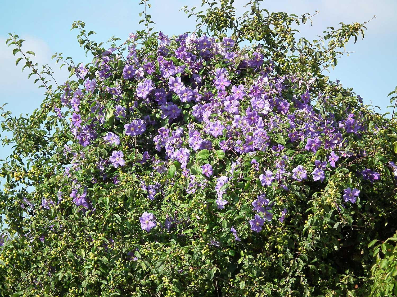 Solanum-rantonettii