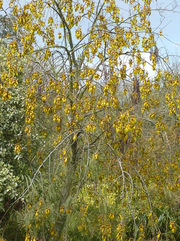 Sophora-microphylla