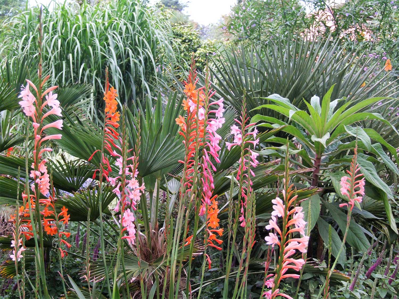 Watsonia-hybrids