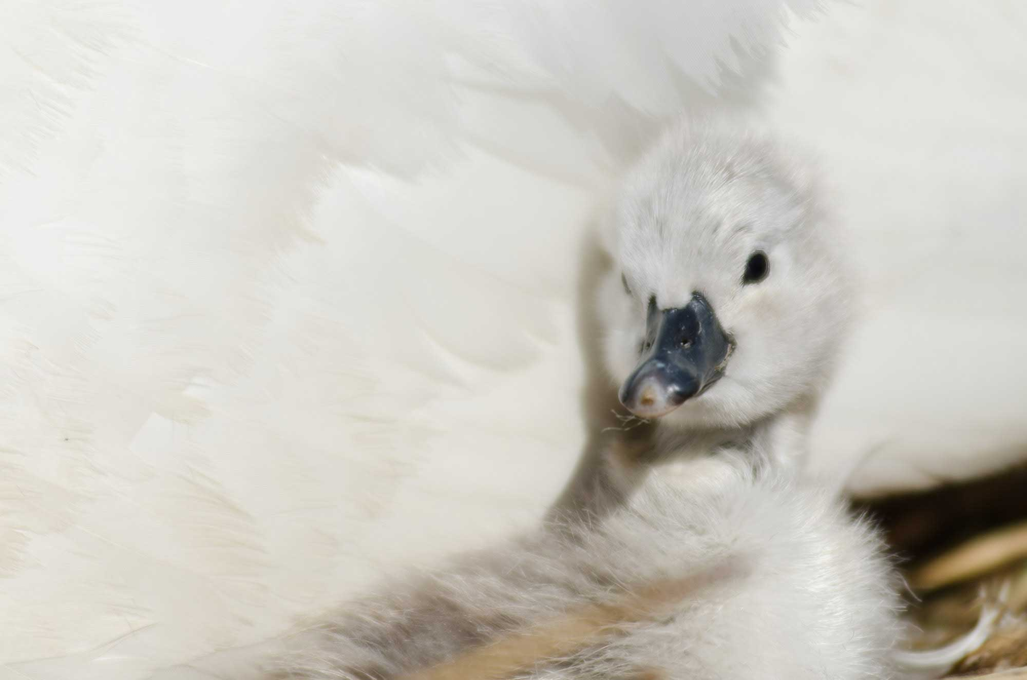 Cygnets hatching at Abbotsbury Swannery