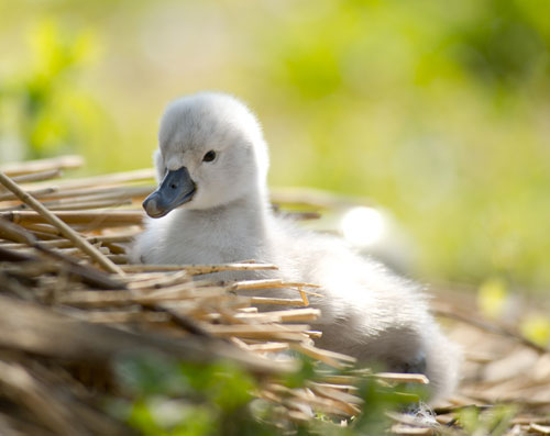 An Abbotsbury baby swan on a nest