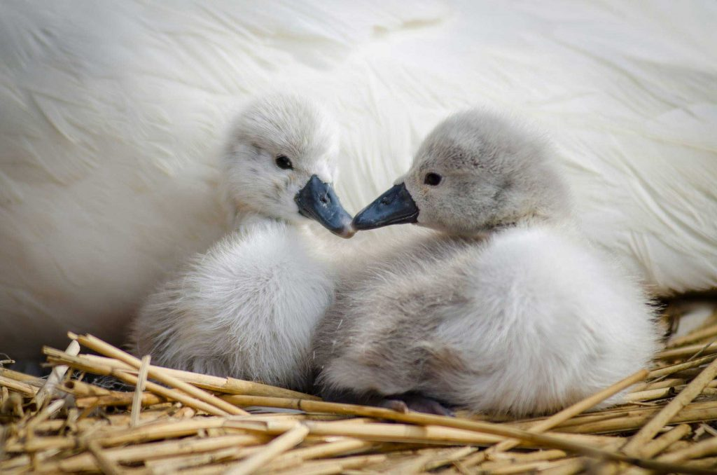 Cygnets (baby swans) at Abbotsbury Swannery