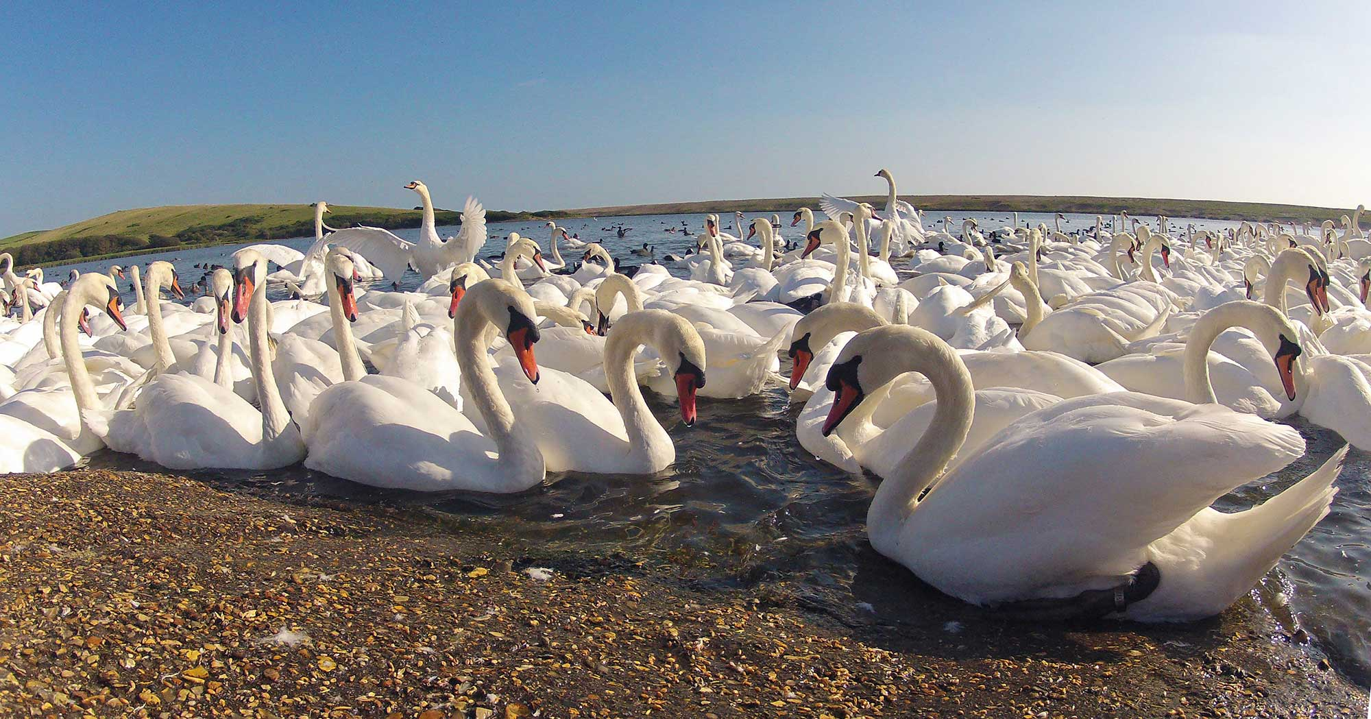 Swans On The Fleet