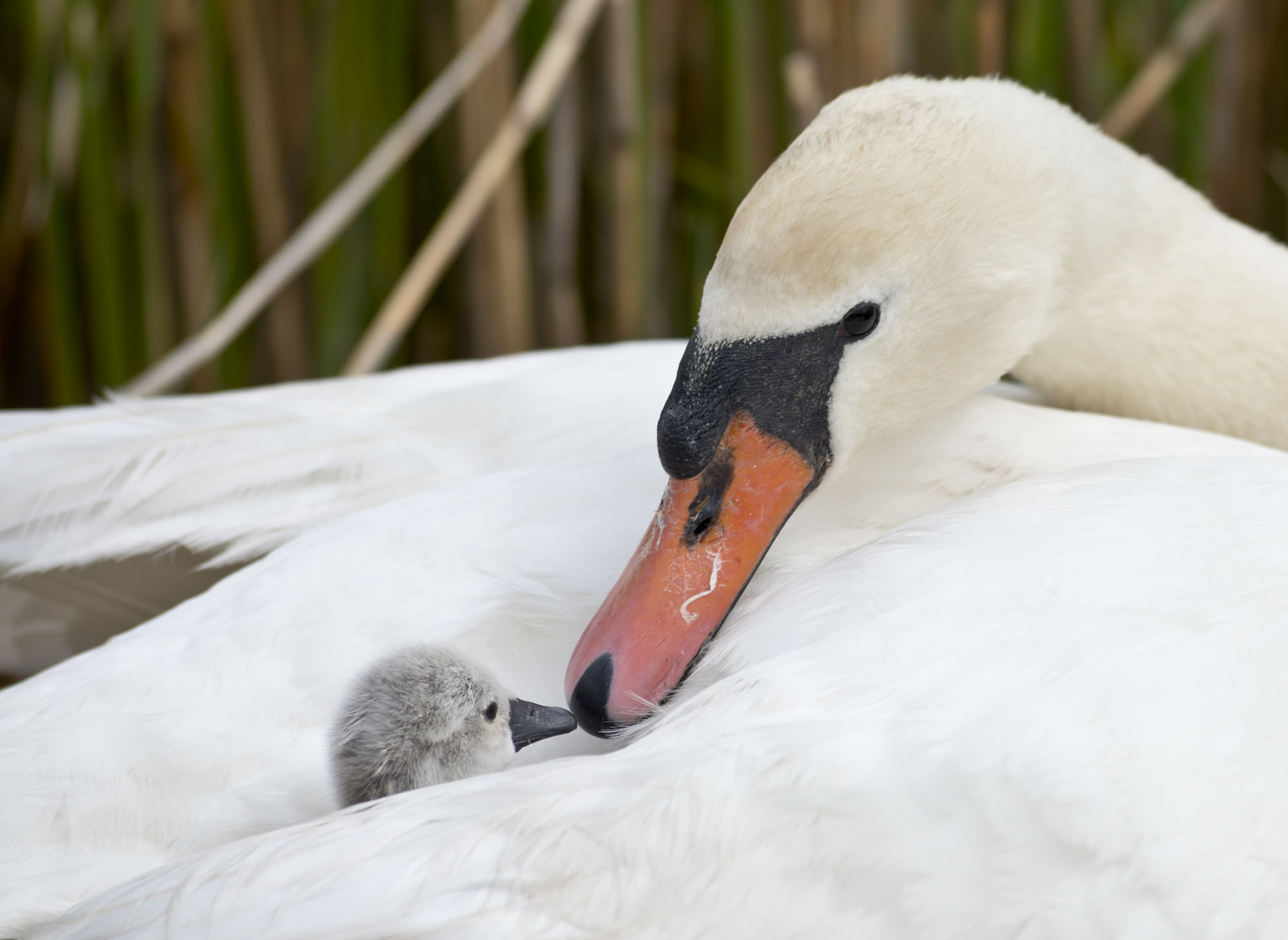 First Baby Swan Of 2014 Arrives At Abbotsbury Swannery