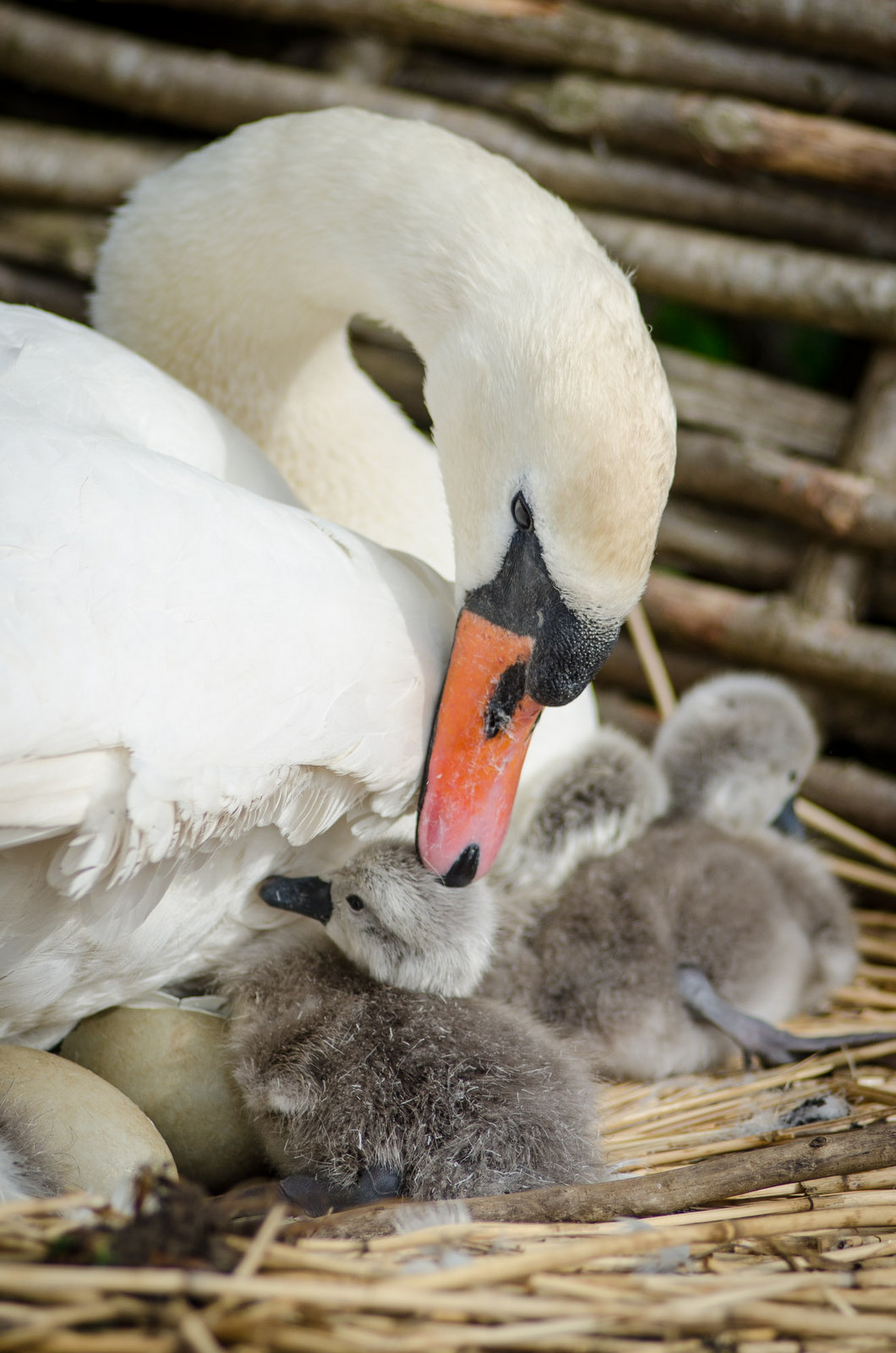 First Cygnet 2016 – 2