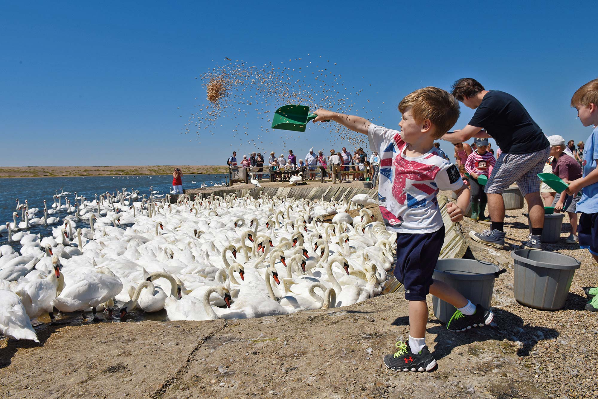 Abbotsbury Swannery Mass Feeding Every Day