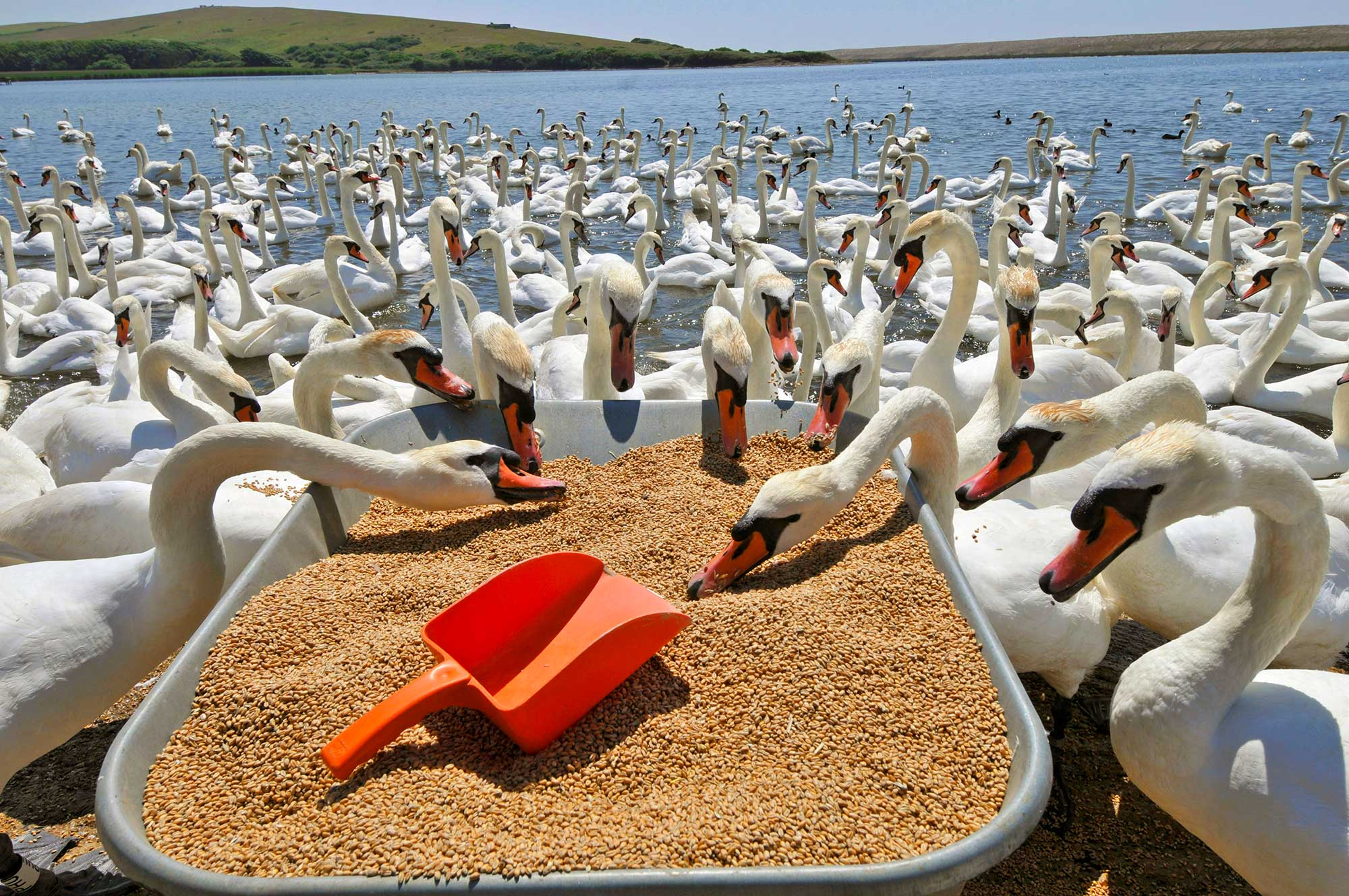 Swans Feeding On The Fleet At Abbotsbury Swannery